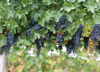 wine-grapes